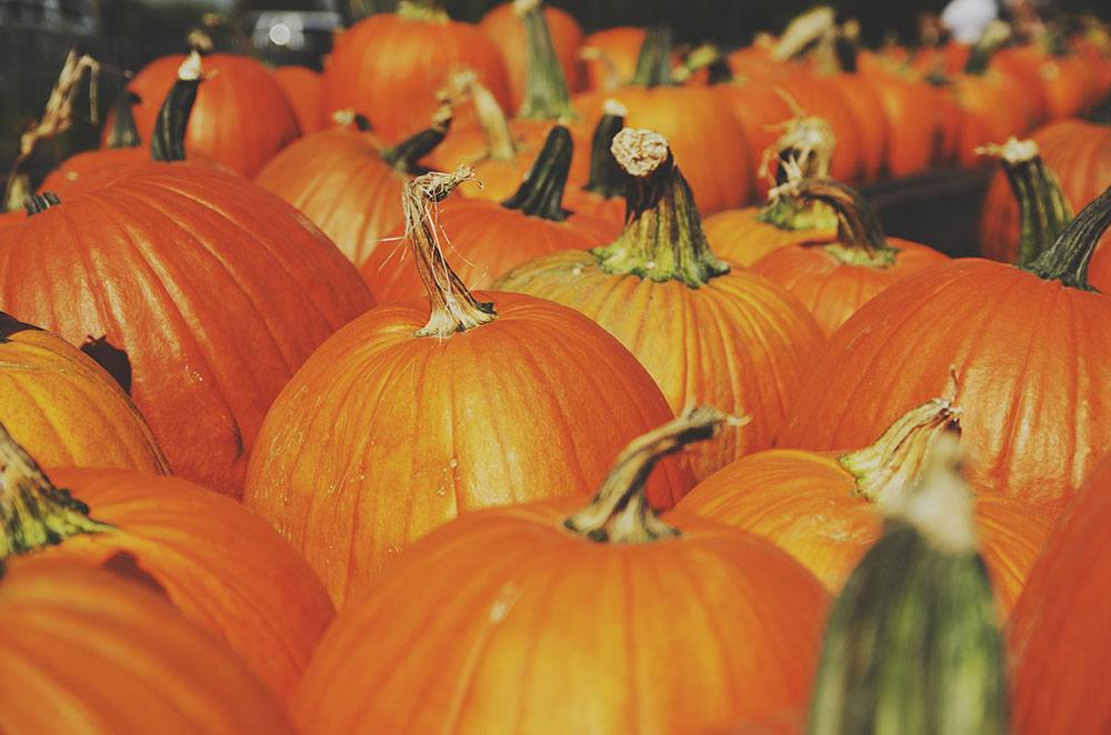 A patch of Pumpkins, now used to carve into Halloween Lanterns