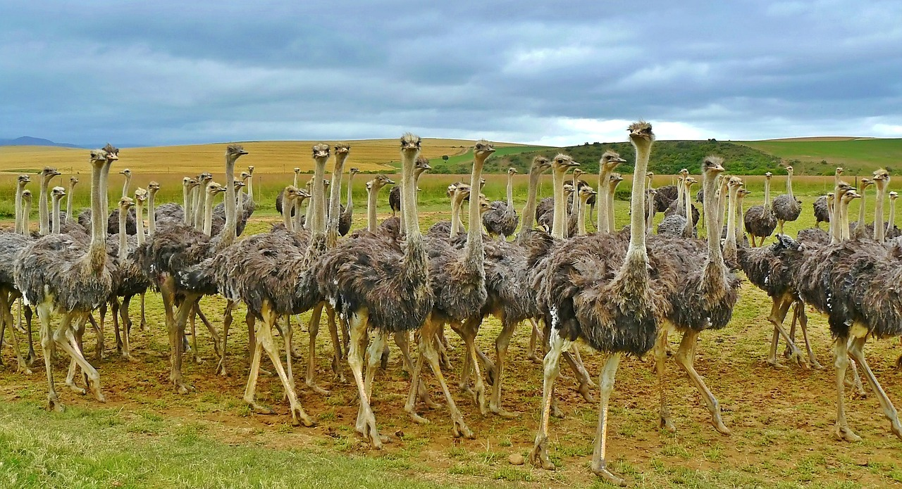 A flock of ostriches and no heads-in-sand in sight